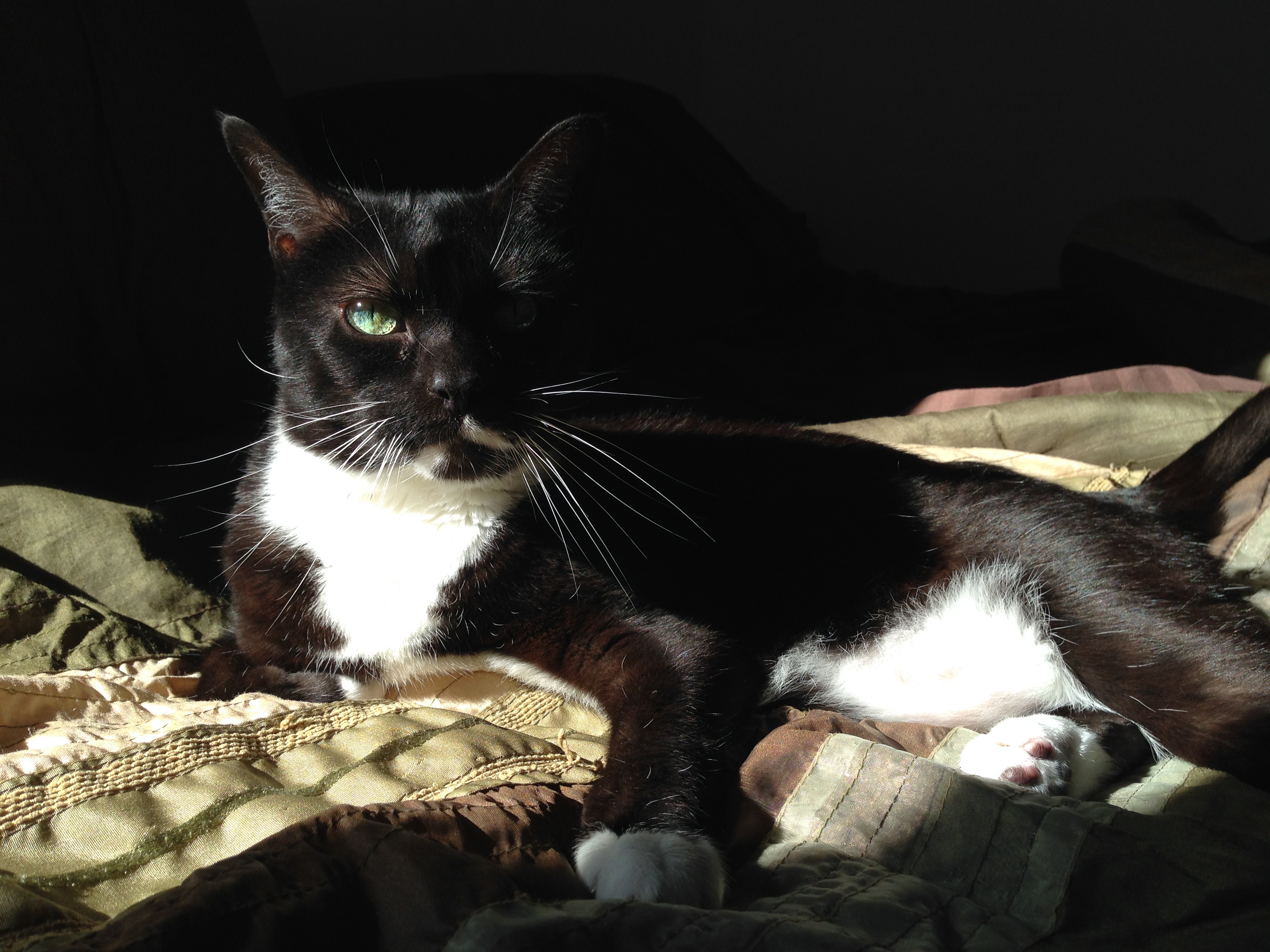 A photograph of Ada, a tuxedo-patterned cat, starkly lit and looking patiently at you.