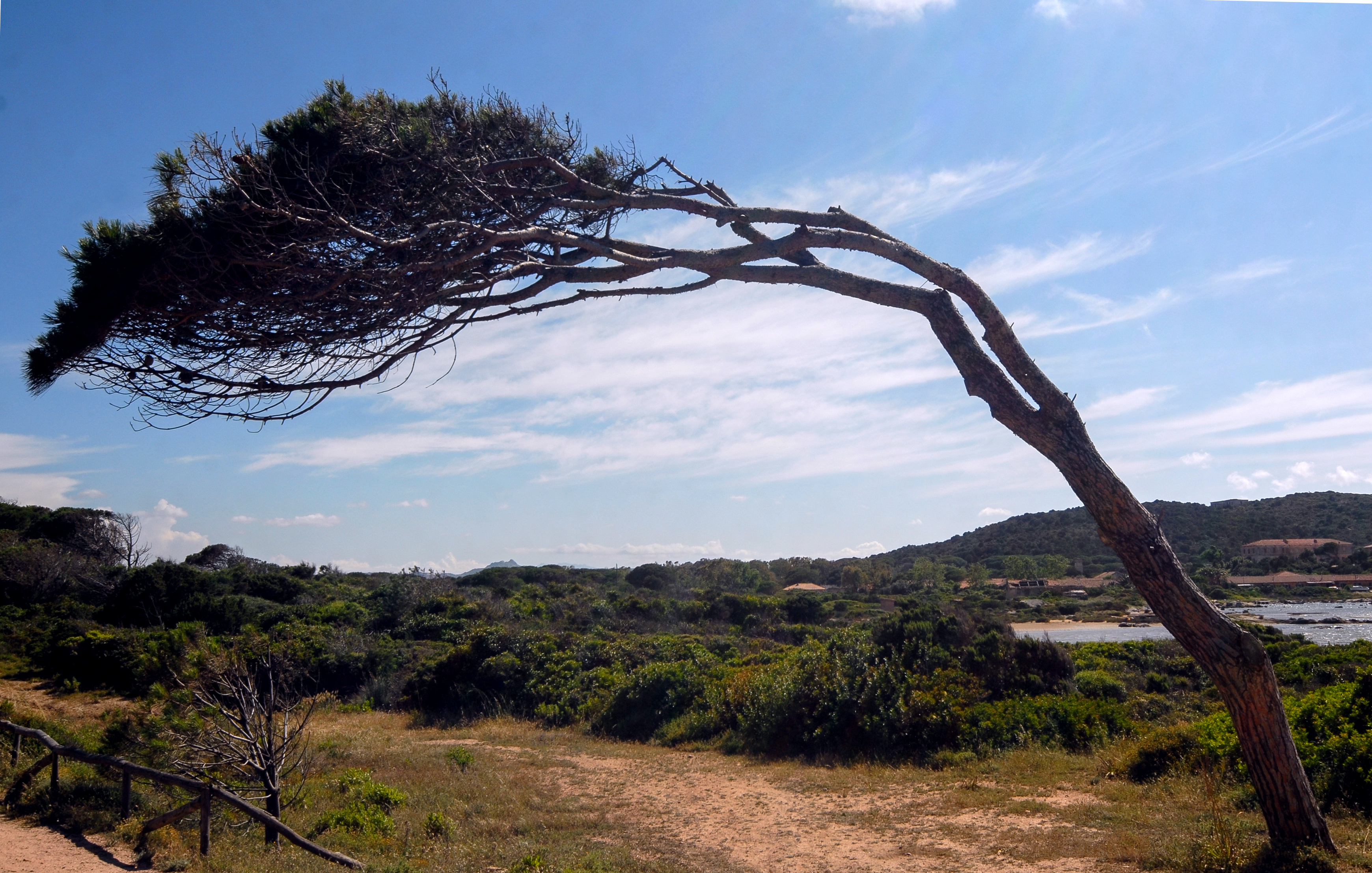 Photograph of a wind-swept tree
