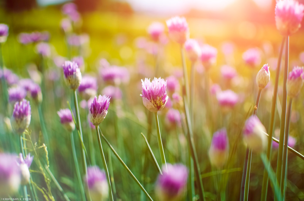 Photograph of some purple onion flowers on their tall green stalks