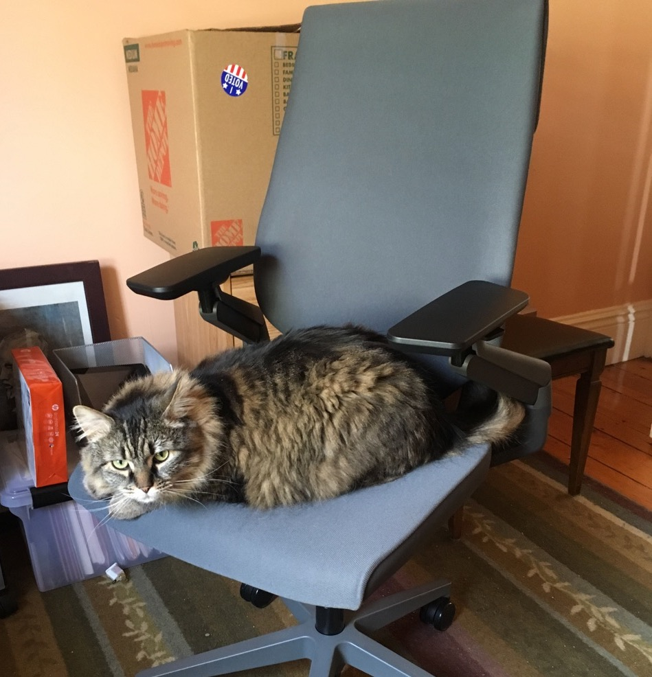 A large, stripy, longhaired cat glares up at the camera while lying down on a fancy gray office chair, in a somewhat messy office.